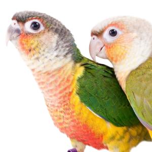 pyrrhuras | Hareco dier en vriend